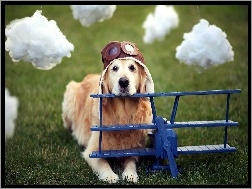 Golden Retriever, Pilot, Pies, Chmurki